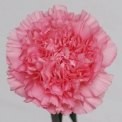 Sim Carnations famosa
