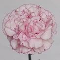 Sim Carnations kristina