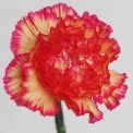 Sim Carnations malaga