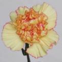 Sim Carnations nogalta