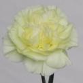 Sim Carnations pax