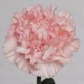 Sim Carnations pink dover