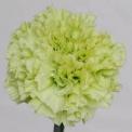Sim Carnations prado refitt