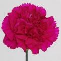 Sim Carnations spirit