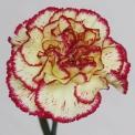 Sim Carnations viana