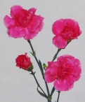 Spray Carnations hot pink tessino