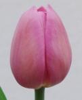 Barcelona Tulip