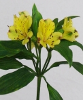 wedding-flowers-alstromeria-floraco-yellow-labielle.jpg