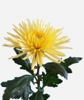 wedding flowers-chrysanthemum-anastasia-sunny-disbud.jpg