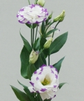 wedding-flowers-lisianthus-floraco-blue-edge-lisianthus.jpg