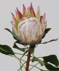 Wildflower king protea