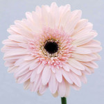 wholesale gerbera flower